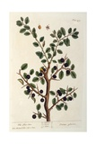 The Sloe Tree  Plate 494 from 'The Curious Herbal'  Published 1782