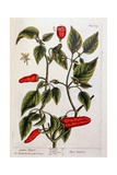 Guinea Pepper  Plate 129 from 'A Curious Herbal'  Published 1782