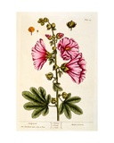 Hollyhocks  Plate 54 from 'A Curious Herbal'  Published 1782