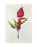 Amaranthus  from 'La Guirlande De Julie'  C1642