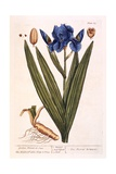 Iris  Plate 69 from 'A Curious Herbal'  Published 1782