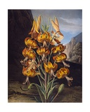 The Superb Lily  from 'The Temple of Flora' by Robert Thornton  Engraved by Richard Earlom…