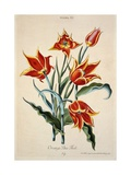 Orange Tulip  from 'Opera Botanica' by Conrad Gesner (1516-65) 1767