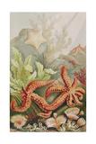 """Starfish  Plate from """"Brehms Tierleben: Allgemeine Kunde Des Tierreichs""""  Vol10  P528 …"""