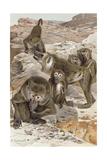 """Baboon  Plate from """"Brehms Tierleben: Allgemeine Kunde Des Tierreichs""""  Vol1  P166  Published…"""