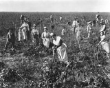 Grape Picking in Provence  C1900