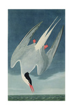Arctic Tern  from 'Birds of America'  Engraved by Robert Havell (1793-1878) Published 1835