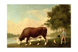 The Lincolnshire Ox  C1790