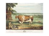 A Short Horned Bull  Patriot  Engraved by William Ward  Shrewsbury  1810