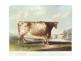 The Airedale Heifer  Engraved by R Reeve  1820