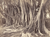Rubber Trees  Ceylon  1880-89