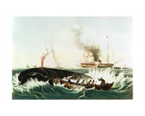 Attacking a 'Right' Whale and Cutting In  from 'The Whale Fishery'  Published by Currier and Ives