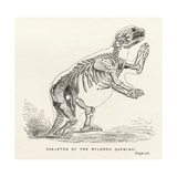 Skeleton of the Mylodon Darwinii  from 'Journal of Researches' by Charles Darwin (1809-82)…