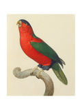Purple-Naped Lory