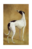 Study of a Greyhound