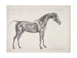 "Plate from ""The Anatomy of the Horse""  C1766"