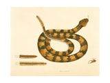 Viper Caudison Snake  Rattlesnake  Plate 41  Vol 1  from the 'Natural History of Carolina …