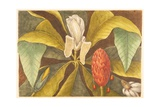 The Magnolia  Plate 68  Vol 1 from the 'Natural History of Carolina  Florida and the Bahamas'