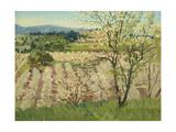 Prune Orchard  Los Gatos  California