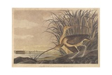 Long-Billed Curlew  Illustration from 'The Birds of America'  Engraved  Printed and Coloured by…