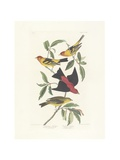 Louisiana Tanager  Scarlet Tanager  Illustration from 'The Birds of America'  Engraved  Printed…