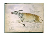Eland Running from Damara with Spear  1862