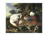 Farmyard Ducks