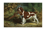 A Welsh Springer Spaniel Holds a Dead Bird in its Mouth