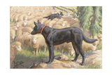 Australian Kelpie Dogs Herd Sheep
