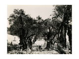 Interior of Latin Garden of Gethsemane from the North East  1854