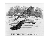 The Winter Fauvette  Illustration from 'The History of British Birds' by Thomas Bewick  First…