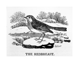 The Redbreast  Illustration from 'The History of British Birds' by Thomas Bewick  First Published…