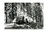 Base of the Grizzly Giant  C1860s