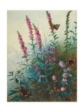 Purple Loosestrife and Watermint  C1910-20