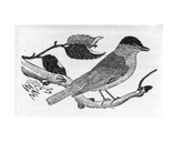 The Black-Cap  Illustration from 'A History of British Birds' by Thomas Bewick  First Published…