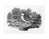 The Blue Titmouse  Illustration from 'A History of British Birds' by Thomas Bewick  First…