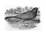 The Blackbird  Illustration from 'A History of British Birds' by Thomas Bewick  First Published…