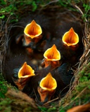 Robin Nestlings in a Nest  Gower  South Wales