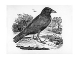The Carrion Crow  Illustration from 'The History of British Birds' by Thomas Bewick  First…