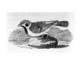 The Mountain Sparrow  Illustration from 'A History of Birds' by Thomas Bewick  First Published 1797