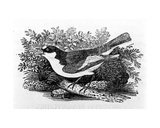 The Pied Flycatcher  Illustration from 'A History of British Birds' by Thomas Bewick  First…