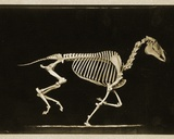 Skeleton of a Running Horse