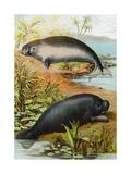 Manatee and Dugong  C1880