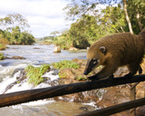 Coati on the Circuito Superior or Upper Trail  Argentina