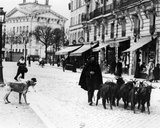 Goatherd Driving His Flock of Goats in the Cours De Vincennes  Paris  C1900