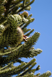 Araucaria or Monkey Puzzle Tree