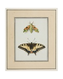 Hawk Moth and Old World Swallowtail Butterfly  C1755-65