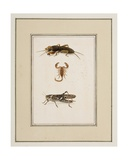 Mole Cricket  Scorpion and Grasshopper  C1755-65
