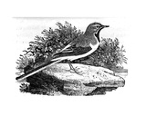 The Grey Wagtail  Illustration from 'A History of British Birds' by Thomas Bewick  First…