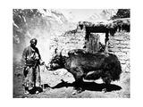 Ladakhi Yak  C1860-80